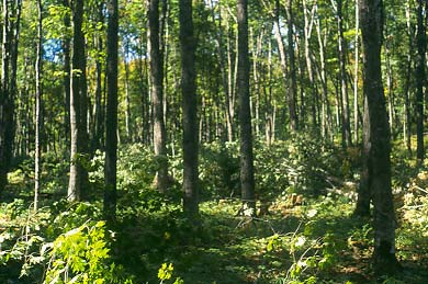 Pingree Forest Hardwood Stand