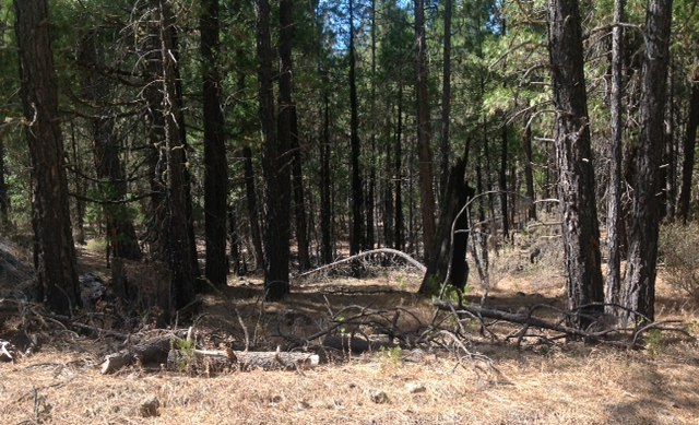 On the Stents' Thousand Springs Ranch in California – unthinned forest