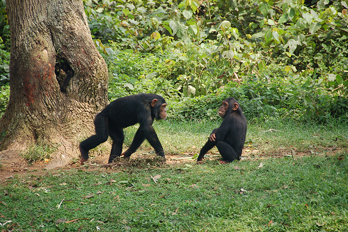The U.S. uses more chimps for research than any other country in the world. Image by Dylan Walters.