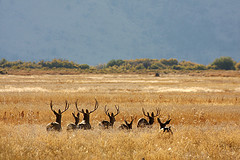 Mule deer bucks.  Photo by US Fish & Wildlife Service, HQ via Flickr Creative Commons.